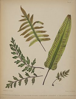 Madeira Flowers, Fruits and Ferns, 1845 - Plate 20.jpg