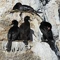 Magellanic Cormorants in the Beagle Channel (5525329914).jpg
