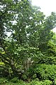 Magnolia campbellii kz02.jpg
