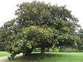Magnolia dans le parc du château.jpg