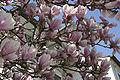 Magnolia x soulangeana - 03.jpg