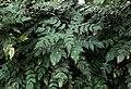 Mahonia japonica kz2.jpg