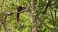 Malabar giant squirrel at nagarhole.jpg