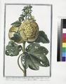 Malva Rosea, folio subrotundo, flore pleno luteo; et subluteo - Mauve Rose (NYPL b14444147-1124972).tiff