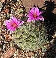 Mammillaria boolii (9327469039).jpg