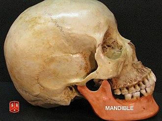 Mandible - Image: Mandible