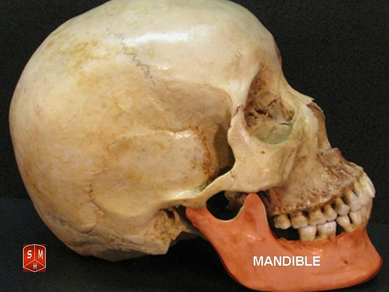 ملف:Mandible.jpg