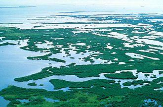 Florida mangroves - Florida mangroves in the coastal Florida swamps.