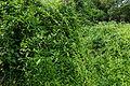 Mangroves 00436.JPG