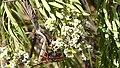 Mantis versus Hornet ( Vespa crabro) (32896035742).jpg