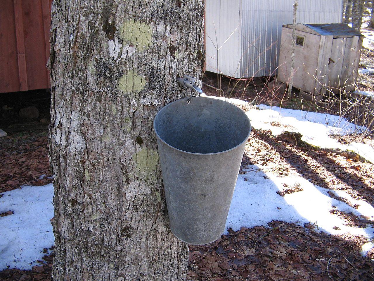 Zbieranie soku roślinnego z drzewa