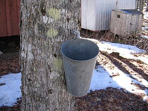 A maple syrup tap