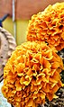 Marigold bloom.jpg