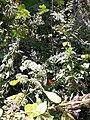 Mariposa Monarca Santuario.jpg