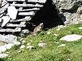 Marmota-2.jpg