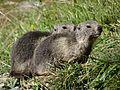 Marmottes en Vanoise (14).JPG