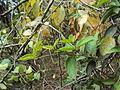 Marsdenia sylvestris 2.JPG