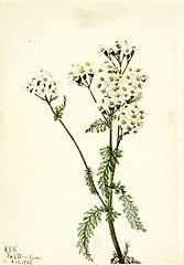 Western Yarrow (Achillea lanulosa)