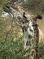Masai Giraffe Giraffa camelopardalis tippelskirchi in Tanzania 0794 cropped Nevit.jpg