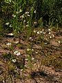 Matricaria chamomilla20140712 037.jpg