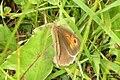 Meadow brown (NH) (15670498828).jpg
