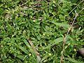 Mecardonia procumbens (5598136496).jpg