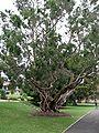 Melaleuca leucadendra-large2.jpg