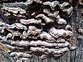 Meripilus giganteus - Kew 10.jpg