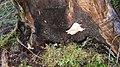 Merulius tremellosus 59392772.jpg