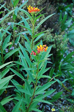 Description de l'image Mexican Butterfly Weed Asclepias curassavica Plant 2000px.JPG.