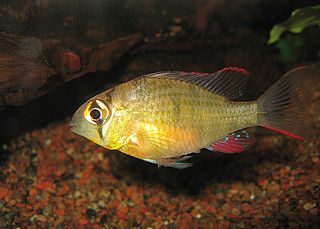 <i>Mikrogeophagus altispinosus</i> species of fish