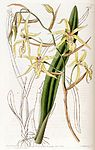 Miltonia flavescens (as Cyrtochilum flavescens) - Edwards vol 19 pl 1627 (1833).jpg