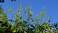 Mimosa ceratonia L. var. pseudo-obovata (Taub.) Barneby (14862949555).jpg