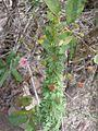 Mimosa polydidyma (11109807625).jpg