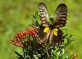 Miranda Birdwing (Troides miranda) female (8067464200).jpg