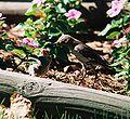 Mockingbird Feeding Chick007.jpg