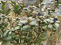 Monnina salicifolia (2).jpg