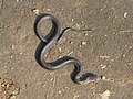 Monocellate Cobra Namdapha IMG 5144.jpg