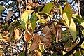 Mopane seed and leaves.JPG