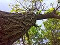 Morus tree.jpg