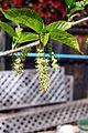 Morusalbaleavesandflowersspring2500ppx.jpg