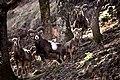 Mouflons.jpg