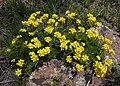 Mount Ara - flowers.jpg