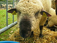 Mouton Dorset Down