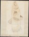 Mugil cephalus - 1700-1880 - Print - Iconographia Zoologica - Special Collections University of Amsterdam - UBA01 IZ13800041.tif