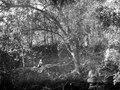 Murrester i urskogen. Kvinnan på på bilden är Olga Nordenskiöld - SMVK - 005804.tif