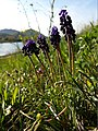 Muscari neglectum sl2.jpg