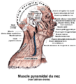 Muscle pyramidal du nez.png