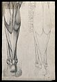 Muscles and tendons of the lower leg and foot, seen from beh Wellcome V0008280ER.jpg