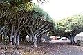 Museu do Vinho do Pico, Dragoeiros com idades estimadas entre 500 e 1000 anos, 4 Lagido da Madalena, Concelho da Madalena, ilha do Pico, Açores, Portugal.JPG